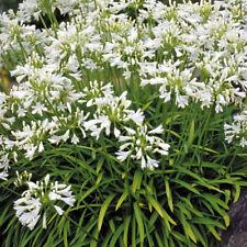 "Agapanthus nain /""bleu brillant/"" VIVACE XXL grand format PLUG plantes Pack x3"