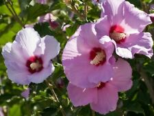 "Rose of Sharon- 6 LIVE PLANTS- 5"" to 10"" Tall- Hibiscus Syriacus Flower"