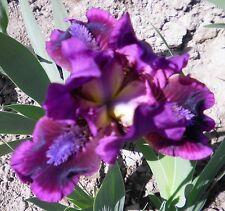 "2 ""Pumpin' Iron"" and ""Cherry Garden"" Really Pretty Dwarf Bearded Iris Rhizome"