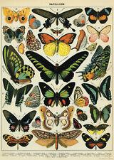 Butterflies  Papillons Poster Cavallini & Co 20 x 28 Wrap Butterfly