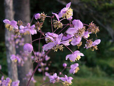 3 Thalictrum rochebrunianum Meadow rue Bee pollinator Hardy perennial plants