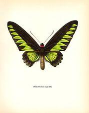"1963 Vintage PROCHAZKA BUTTERFLY ""RAJAH BROOK'S BIRDWING"" GREAT COLOR Lithograph"