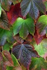 Boston Ivy - Japanese Creeper - Parthenocissus tricuspidata - 100+ seeds