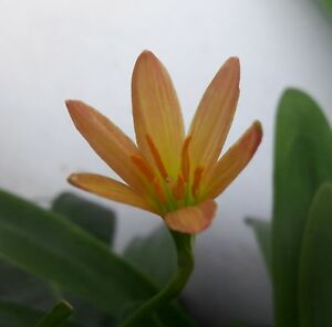 Rain Lily Bulb, Zephyranthes 'Little Bee', Rainflower Magic Lily, Flowering Size
