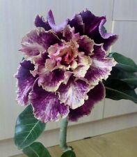 4 Purple Cream Desert Rose Seeds Adenium Obesum Flower Exotic Seed Bloom 891