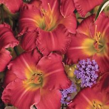 Early Bird Daylily  PLANT  FREE SHIpping