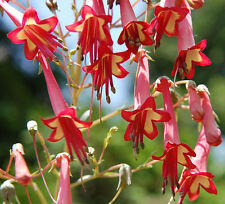 FANTASTIC PHYGELIUS MIX SEED (FREE p&p)