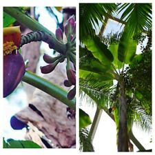 MUSA ITINERANS (Burmese Blue) Banana - 10 Fresh Seeds - Stunning Tropical
