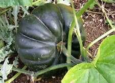 100 Cucurbita moschata Seeds Pumpkin squash plant Vegetable - Sakkarai Pusani