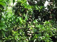 Fresh Sapodilla Fruit 10 LB Box Manilkara zapota Malay Super Sweet! Fresh Fruit