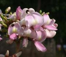 Gliricidia sepium Forest Lilac 10 seeds