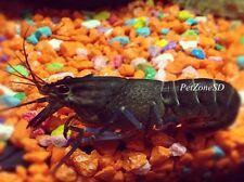 Blue Lobster - Cherax quadricarinatus (Red Claw Lobster/Crayfish)