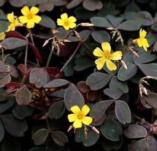 3 Purple Oxalis Yellow Black Burgundy Shamrock Iron Cross Lucky Plant Clover