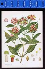 CLOVE Botanical Plant - 1899 Nature Print