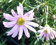 Brachyscome multifida pink (Daisy) in 75mm supergro tube native plant