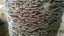 TURKEY TAIL Mushroom Trametes versicolor mycelium plugs spawn 4 dowels $4.90