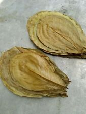 50 pcs A++ Cattapa Indian Almond Leaves