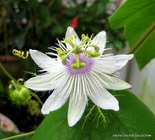 Stinking Passionflower passiflora foetida passionfruit flowering seed 10 seeds
