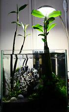 1 plant de  Paletuvier pour aquarium eau douce,plante