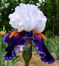 "New listing Tall Bearded ""Sharpshooter"" Iris - Neon Purple Rims '00 * Perennial Pre-Sale"