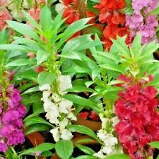 100+Balsam Camellia Mix Flower Seeds aka Impatiens Patio Container/Garden Shade