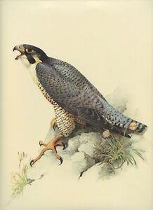 J F Lansdowne PEREGRINE FALCON bird of prey illustration 1977 vintage art print