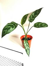 Aglaonema Maria - approx 30cm Tall - Chinese Evergreen - Indoor Houseplant