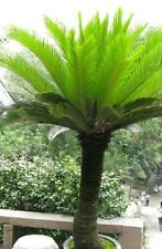 Cycas revoluta King Sago palm! From the age of dinasours! Fresh seeds! Hardy