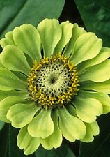 """NEW!  30+ GIANT LIME GREEN """"ENVY"""" ZINNIA FLOWER SEEDS / LONG LASTING ANNUAL"""