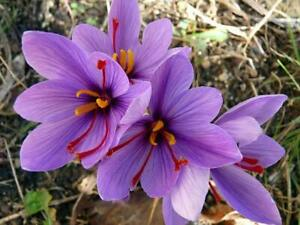 "6 Crocus Sativus-""Saffron Crocus""(Pack of 6 Large Bulbs)Perennial, Zones:4-9"