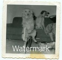 1950s  Square snapshot Photo dog on rocking horse