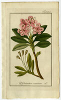 Antique Botanical Print-GREAT RHODODENDRON-Zorn-1796