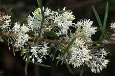 Grevillea triloba - A low-growing shrub with scented flowers - Seeds