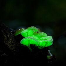 Glow in the dark mushroom Panellus stipticus bioluminescent habitat log kits