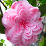 Camellia Flowers Potted Plants Garden Flower Planting Camellia Bonsai Tree Seeds