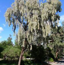 Acacia pendula ( Weeping Myall ) 30 seeds
