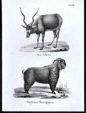 Addax & Egyptian Goat- 1840 Antique Lithograph