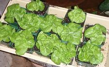 Lettuce, Tom Thumb , 800 Heirloom, Non-gmo, Seeds Free Shipping