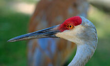 BEAUTIFUL SANDHILL CRANE FINE ART GREETING CARD