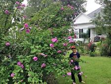 Hibiscus syriacus Violet Satin pint plant