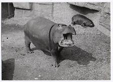 PHOTO ANCIENNE DE PRESSE Zoo Deux Hippopotames Vers 1950 Hippopotame Bébé