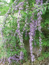 Sommerflieder Buddleja alternifolia 40-60cm Sommerblüher