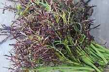 150 graines de MOUTARDE ROUGE(Brassica Juncea)H832 RED FRILLS MUSTARD SEEDS