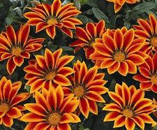 Gazania Seeds Kiss Orange Flame 50 Seeds Flower Seeds