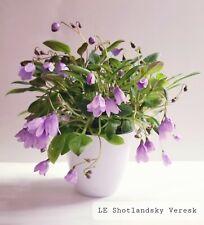 African Violet Le-Shotlandsky Veresk- Starter Plant/Plug