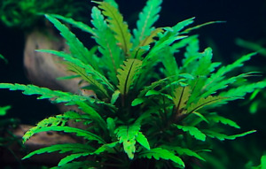 3 BEAUTIFUL TROPICAL HYGROPHILA PINNATIFIDA HEALTHY AQUARIUM PLANT AQUATIC LIVE