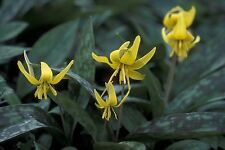 5 Yellow trout lily Erythronium americanum PREM NATIVE WOODLAND WILDFLOWERS BR