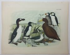 The Birds of North America. Studer. 1881. Petrel, Auk, Puffin, Murre. LXXV