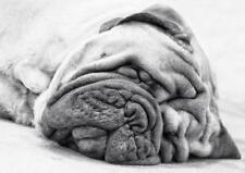 Old Photo. Funny - English Bull Mastiff sleeping
