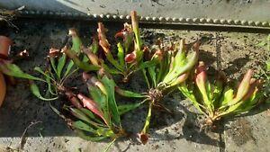 Sarracenia purpurea plant division's